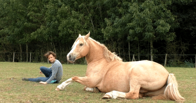 palomino welsh cob lying down in grass field with man