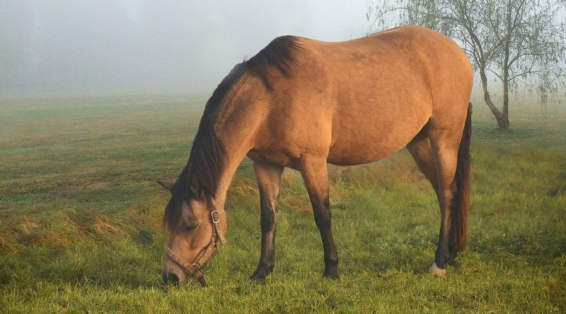 What is the difference between a dun and a buckskin?