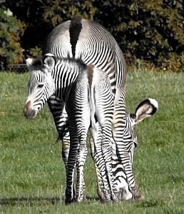 zebra mare and foal aligned from behind