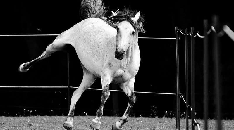 grey horse kicking out, greyscale image