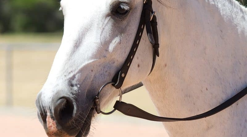 grey horse without a noseband