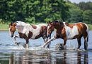 beautiful pinto horses splashing in a lake