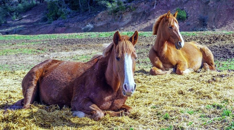 Two chestnut horses lying down in a field by the remains of a hay bale