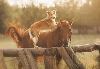 border collie type dog on fence leaning on horse in western headstall